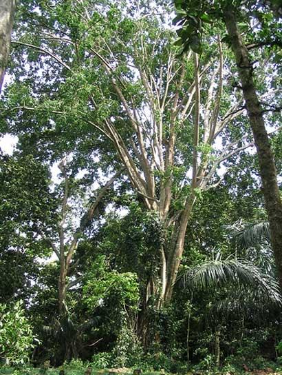 Pule tree at cemetery