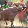 Makepung: Bull Race