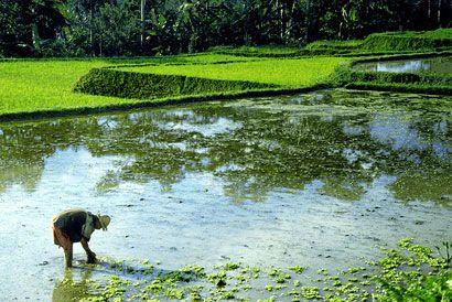 rice_field_cosioj