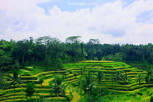 Ceking Rice Terrace